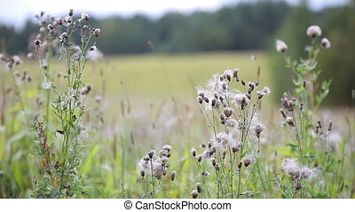 Wind blows off feathery pappus and overblown field flowers...