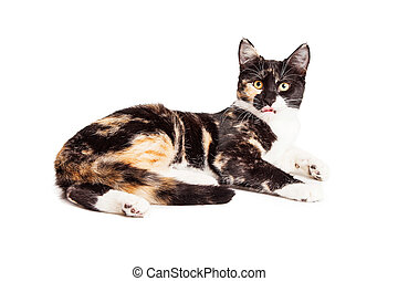 Cute Calico Kiten Sticking Tongue Out - Adorable little...