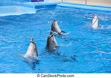 Dancing dolphins with hoops at pool