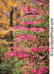 Burning Bush - Crimson Burning Bush in Autumn
