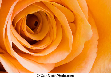 Peach rose - Close up detail of peach rose with petal...