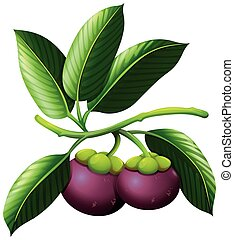 Branch of mangosteen with fruits illustration