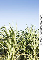 Green field of corn growing up, stock photo