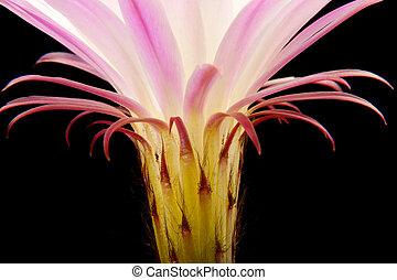 Cactus flower - Pink cactus flower isolated on black