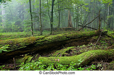 Fresh deciduous stand of Bialowieza Forest in summer with...