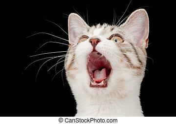 Screaming little tabby kitten. Isolated on black