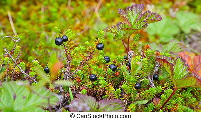 crowberry in northern forest