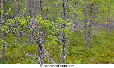 northern forest landscape, Karelia, Russia