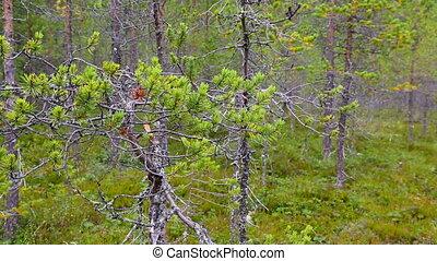 northern forest landscape, Karelia, Russia