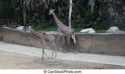 Walking giraffes at the Los Angeles zoo - Walking giraffes...