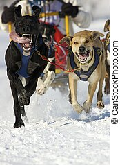 front view at four siberian huskys at race in winter Find...