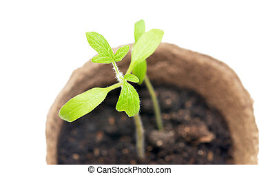 Tomato seedlings in a pot of peat on a white background