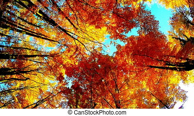 Trees crowns in autumn - Crown of colorful trees in forest...