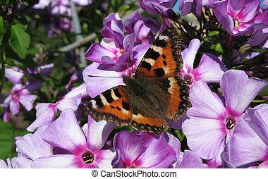 Daily Admiral butterfly (Vanessa atalanta), family...