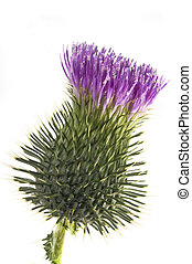 flower (thistle) - beautiful flower