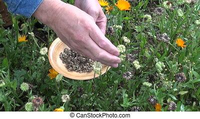 pick calendula marigold seeds - Gardener herbalist hands in...