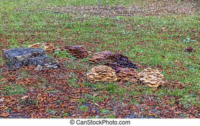 Parasitic Mushrooms - Parsitic mushrooms fam Armillaria on...