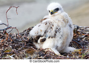 Rough-legged Buzzard Buteo lagopus chick in nest and lemming...