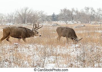 Mule Deer Buck and Doe in Rut - a big mule deer buck and doe...