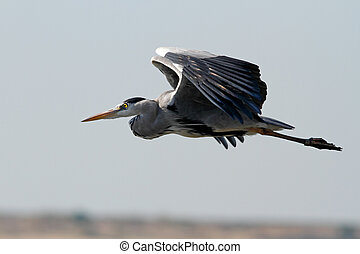 Heron in flight over Douro river, north of Portugal. Soft...