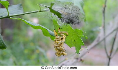 oak tree in the forest, danger caterpillars closeup