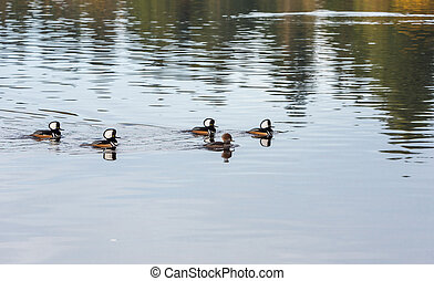 Hooded Merganser - hooded merganser attracting female