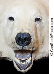 Bear open mouth - Angry polar bear open mouth. Isolated