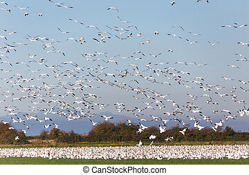 snow geese on Delta BC Canada,  Oct. 2015