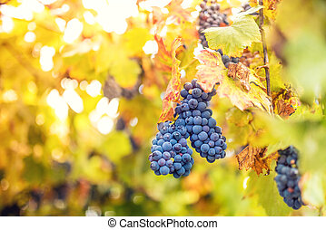 harvesting season with ripe grapes in fall. bunch of grapes at winery