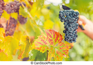 Ripe grapes in fall, autumn harvesting with worker and scissors. Delicious grapes on vintage winery