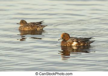 par, de, Eurasian, Wigeons, (Anas, penelope), natação,