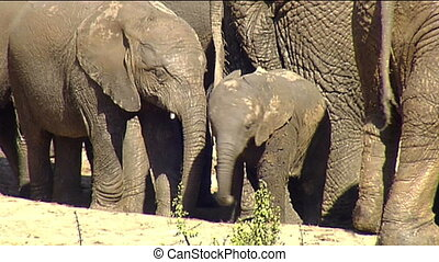 elephant calves at waterhole fight - Mud covered African...