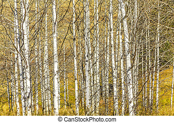 Aspen Tree Grove - A grove of Aspen tree trunks in a...