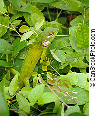 Variable Lizard - Variable lizard in the green background