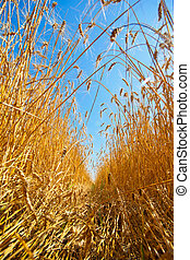 Path through field of wheat - Path through field of gold...