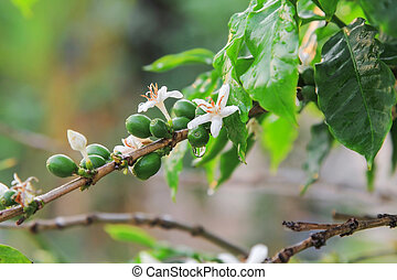 Coffee tree in nature. - White Coffee flowers and ripe...