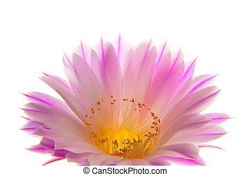 Cactus flower - Pink cactus flower isolated on white