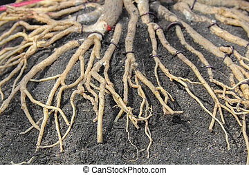Adenium Root - Adenium obesum root, they are commonly used...