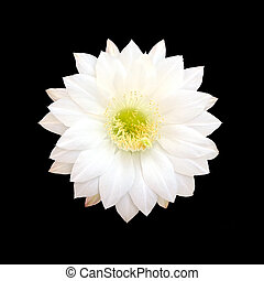 White Cactus flower . - White Cactus flower isolated on...
