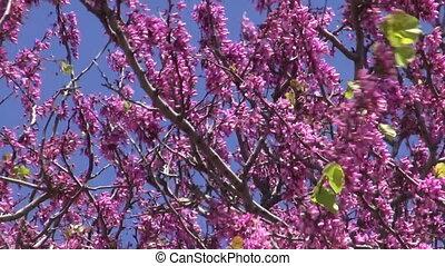 pink flowering tree waving in wind
