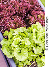 Homegrown salad - two variety of homegrown salad growing in...