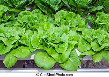 Hydroponics green romaine lettuce v - Fresh Romaine Lettuce...