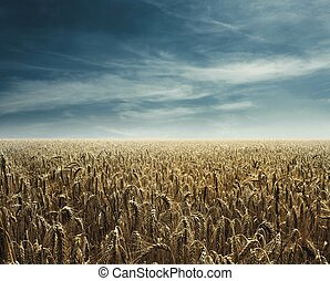 hot cornfield back light