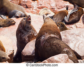 Brown fur seals fight - Two dangerous brown fur seals...