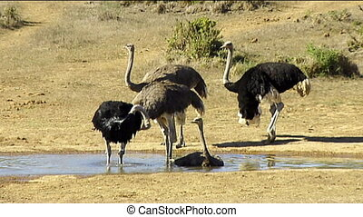 Male and female ostriches waterhole - Male dark and female...