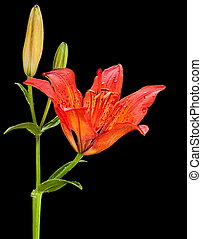 Red lilly flower closeup isolated on black