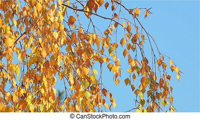 Yellow Birch Leaves Swaying in the