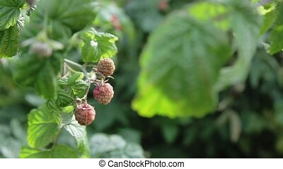 Raspberry on branch - Raspberries Growing Organic Berries...