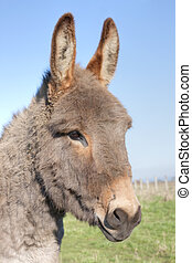 Donkey - The donkey of the farm in the field
