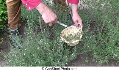 herbalist collecting fresh savory - Man gardener herbalist...